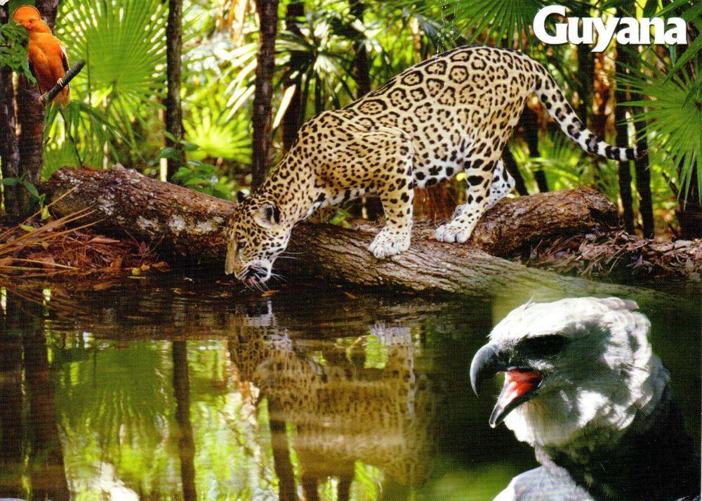 Guyana jaguar postcard